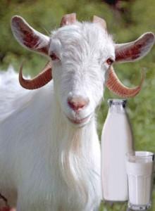 Чем полезно козье молоко