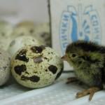 перепелиные  яйца могут нанести серьезный вред здоровью